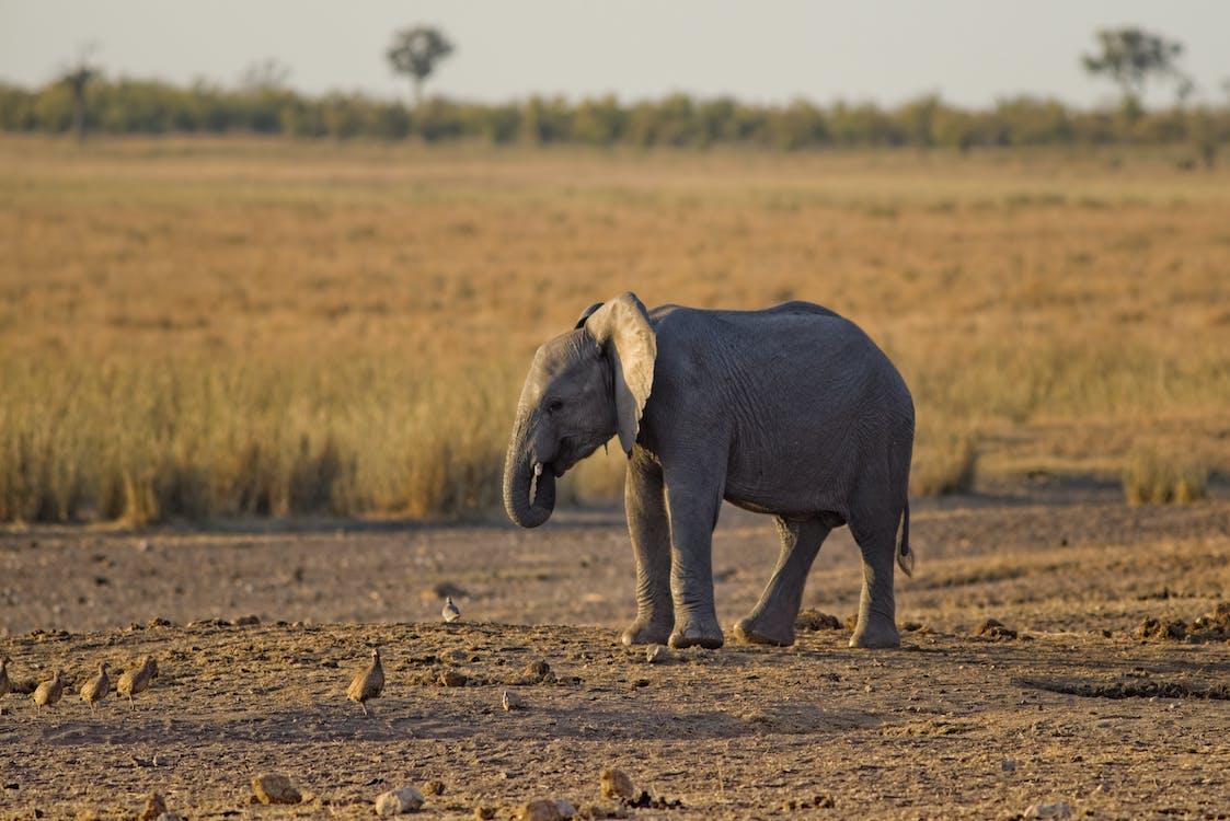 draußen, elefant, feld