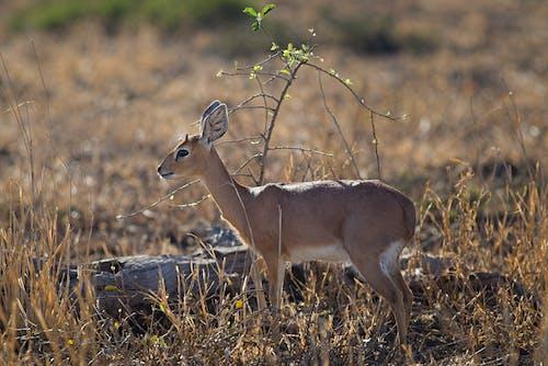 Immagine gratuita di animale, campo, campo di fieno, cervo