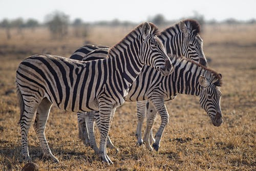 Three Zebras Standing on Green Grass Field