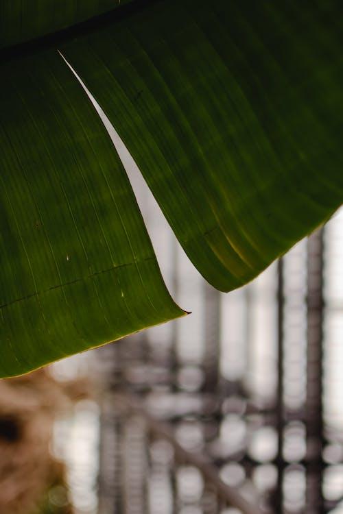 나뭇잎, 바나나 잎, 수직 쐈어의 무료 스톡 사진