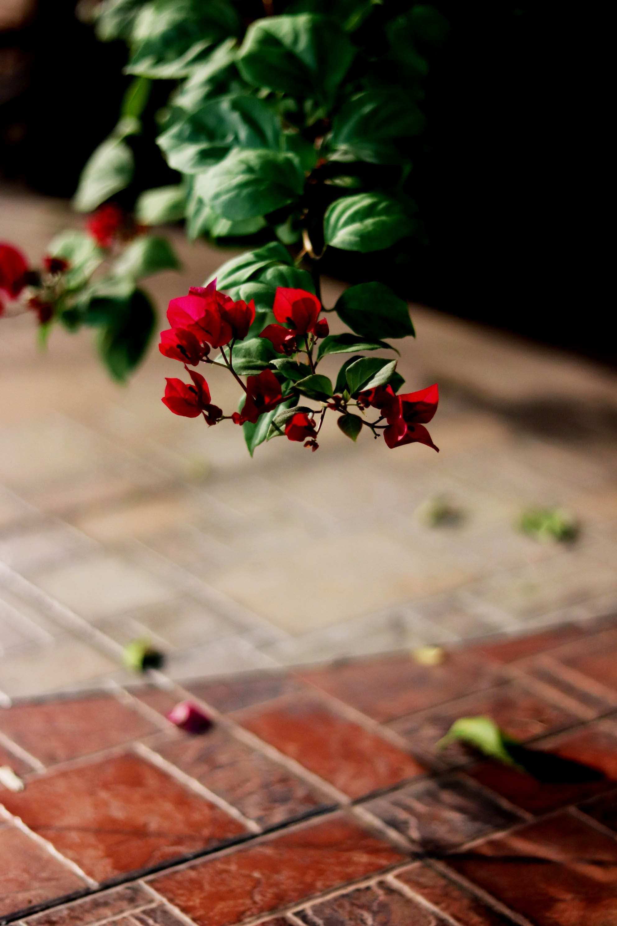 Free stock photo of flower, plants, red flower, selective focus