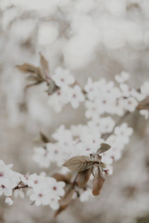 Безкоштовне стокове фото на тему «білі квіти, вертикальні постріл, весна»