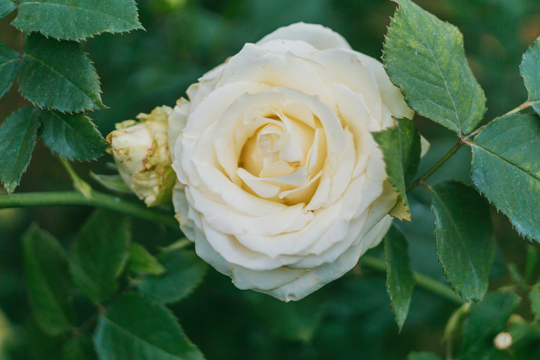 Kostenloses Stock Foto zu blühen, blume, blütenblätter, duftend