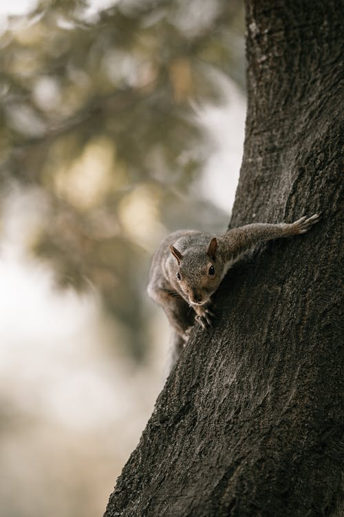 A Brown Squirrel on a Brown Tree Trunk