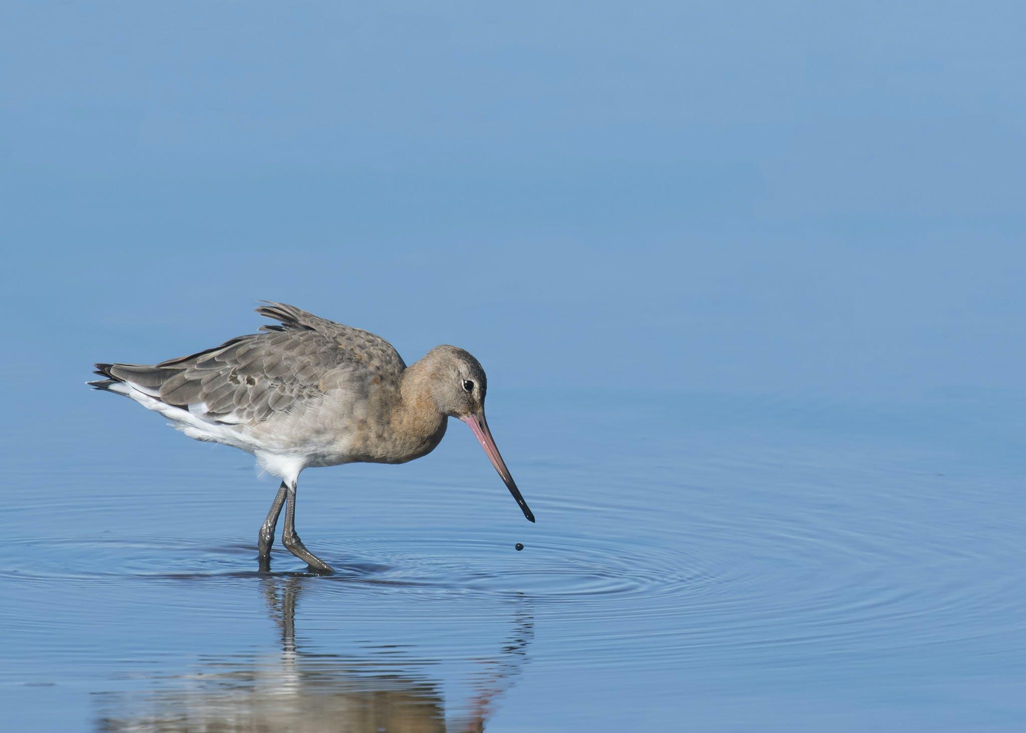 Free stock photo of bird, blue water, ripples, wader