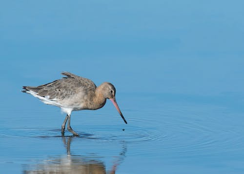 Free stock photo of blue water, ripples, wader