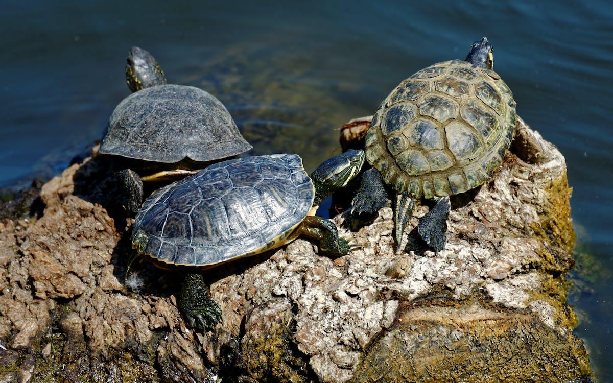 sköldpadda, terrapin