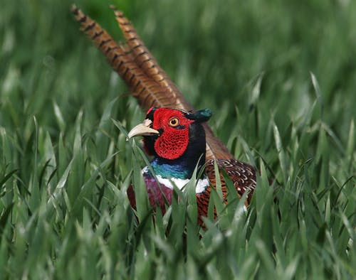 Kostenloses Stock Foto zu fasan, gras, hühnervögel