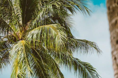 คลังภาพถ่ายฟรี ของ ต้นปาล์ม, ต้นมะพร้าว, ธรรมชาติ