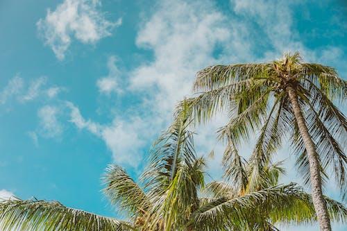 คลังภาพถ่ายฟรี ของ ต้นปาล์ม, ต้นมะพร้าว, ท้องฟ้าสีคราม