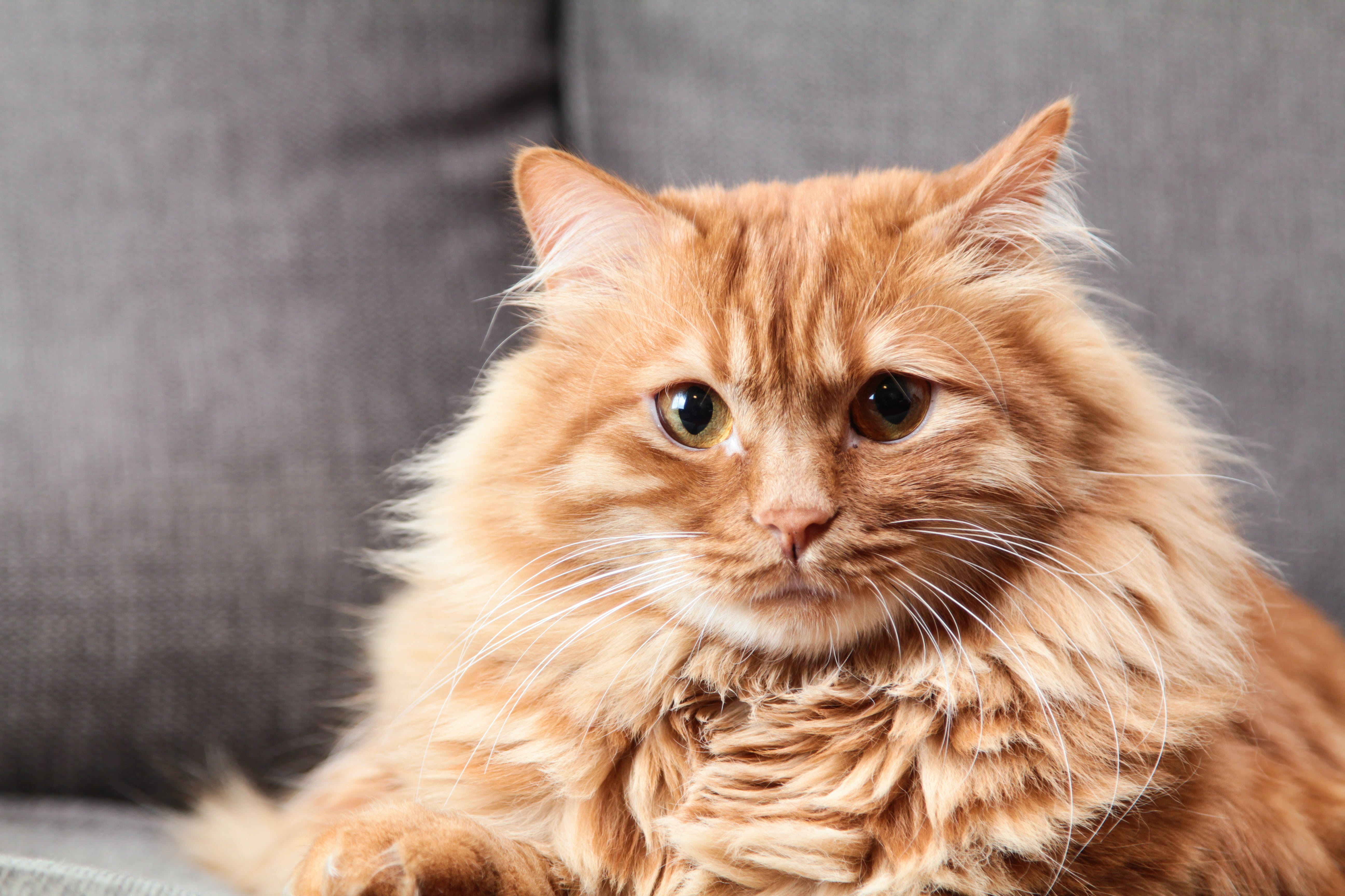 Brown Long Coated Fur Cat