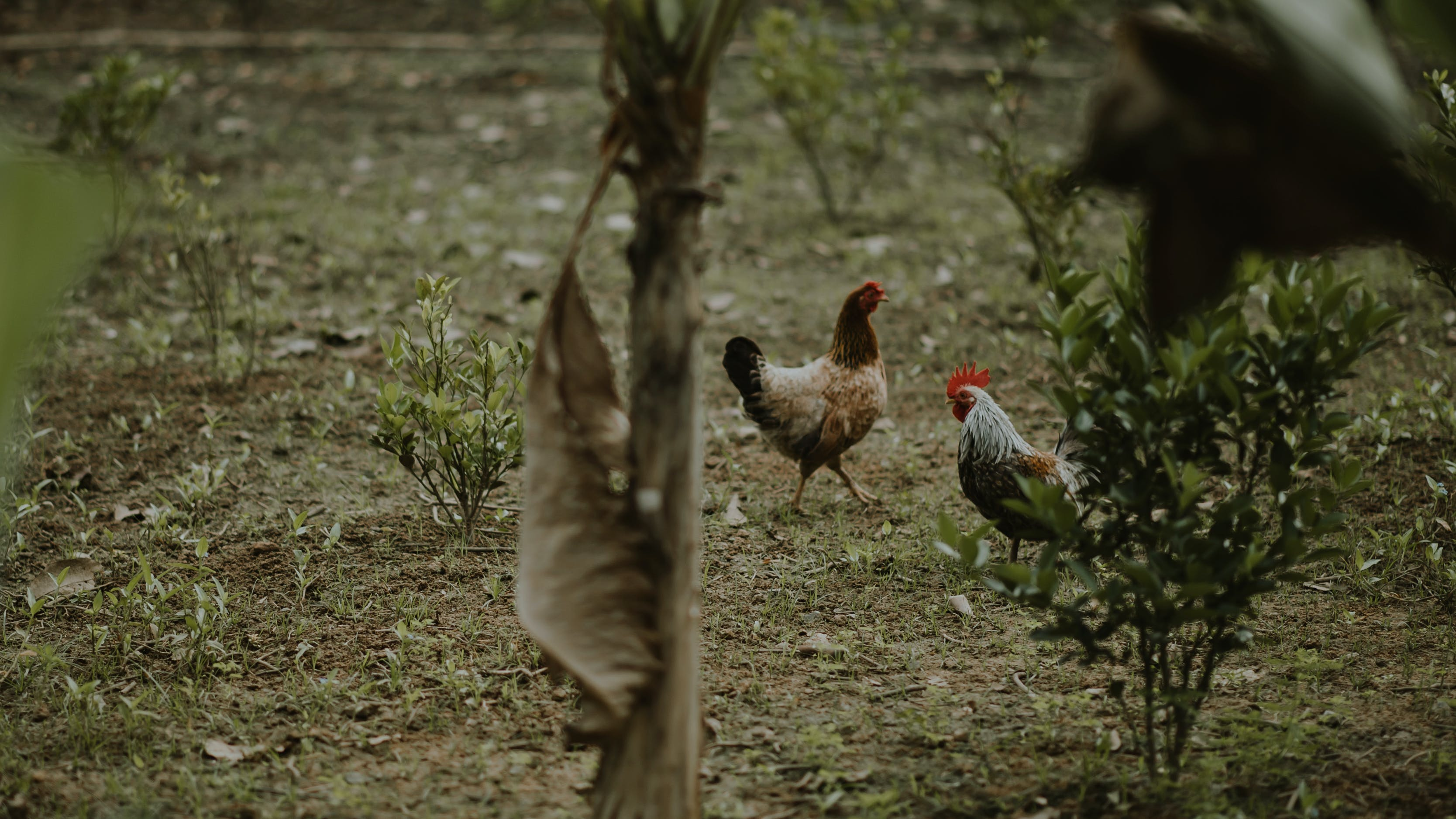 Two Brown Hen and White Rooster Standing Near Green Plants