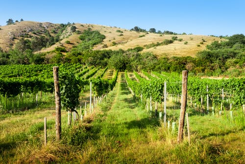 A Vineyard in the Valley