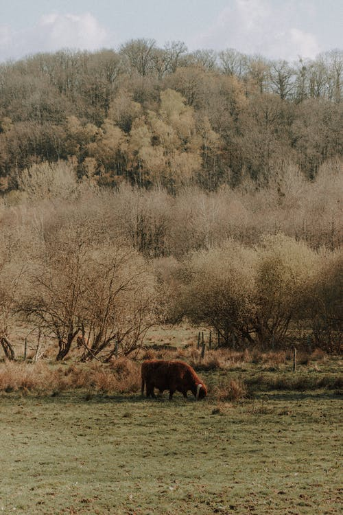 Scenic view of bison eating grass on meadow against green trees under cloudy sky in daytime