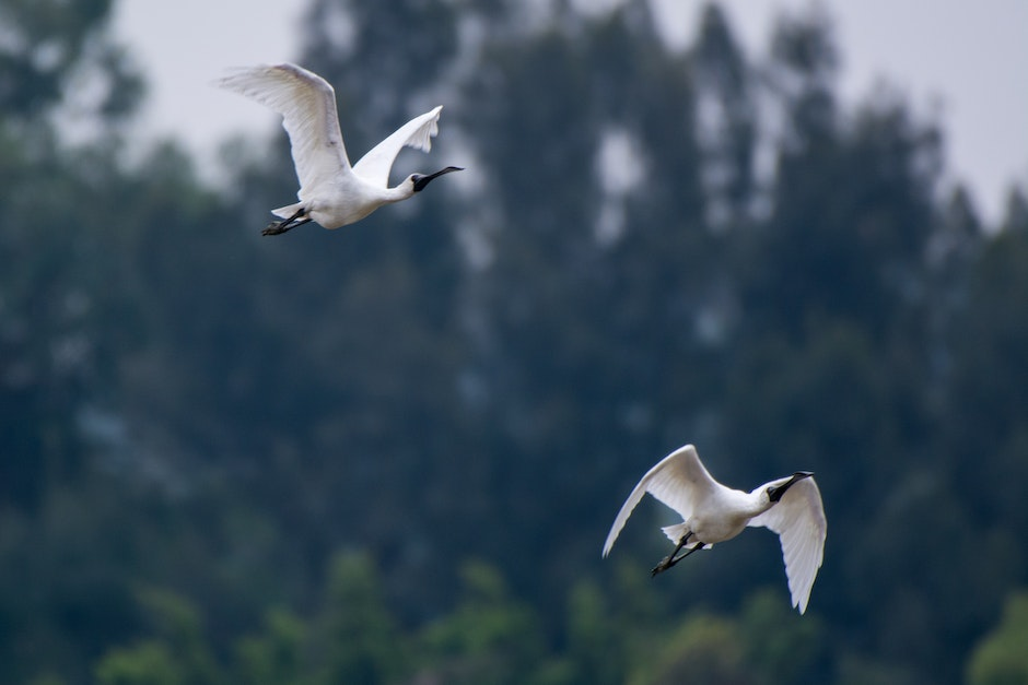 Two White Ibis Flying