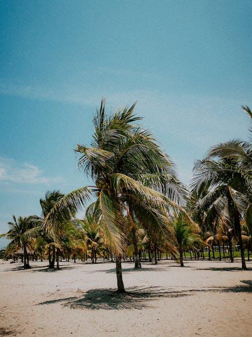Free stock photo of beach, coconut, idyllic