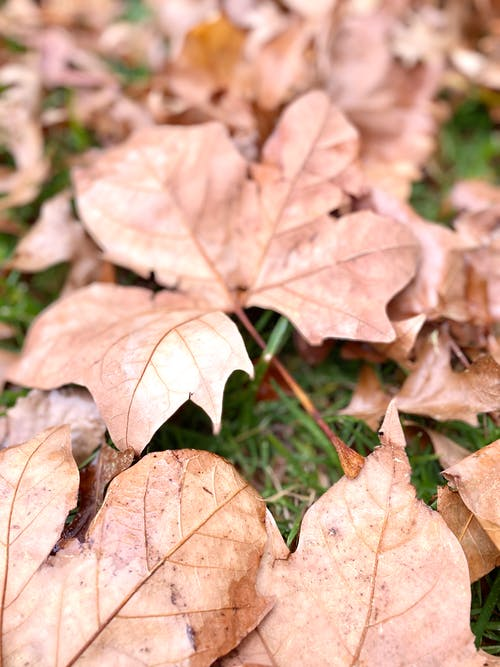 Close Up Photo of Dried Maple Leaves