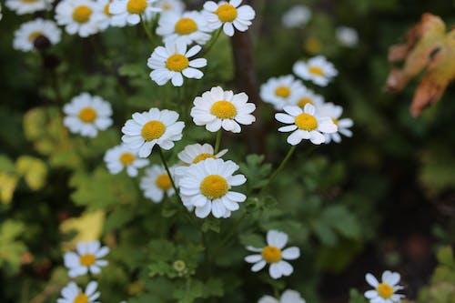 增長, 小白菊, 明亮 的 免费素材图片