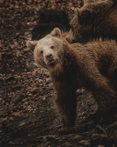 Furry cub of brown bear looking at camera while walking on stony ground near mother in nature