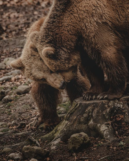 Wild brown bears expressing affection