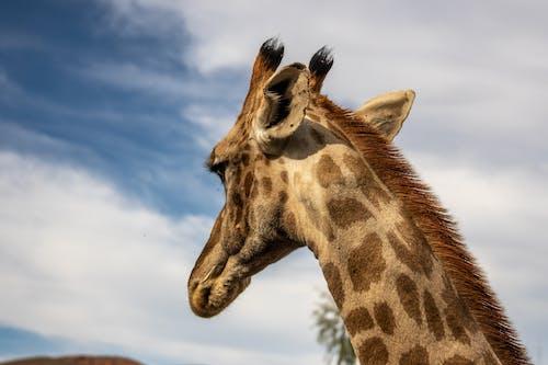 Close-Up Shot of a Giraffe
