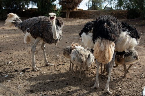 White and Black Ostrich on Brown Soil
