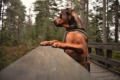 Free stock photo of amstaff, daylight, dog, forest