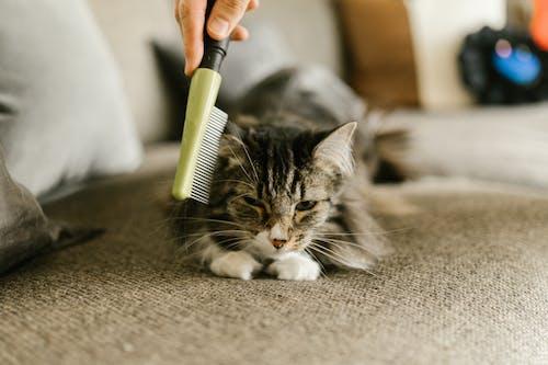 Silver Tabby Cat on Gray Carpet