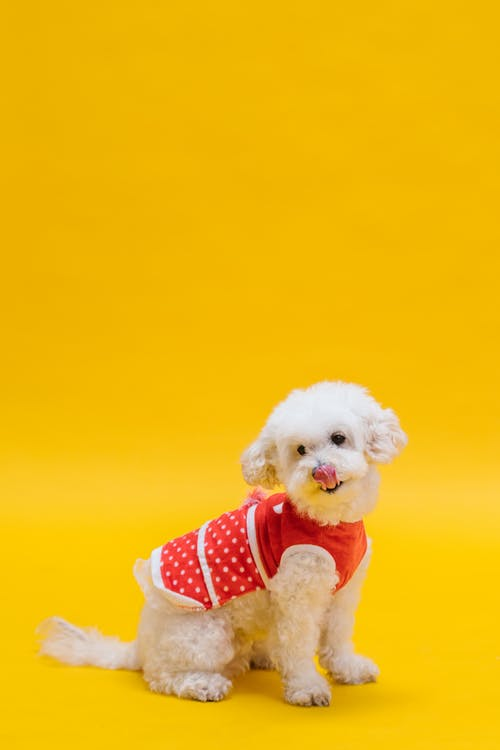 White Small Dog in Red and White Polka Dot Shirt
