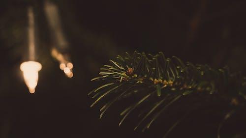 가문비, 가벼운, 가지, 계절의 무료 스톡 사진