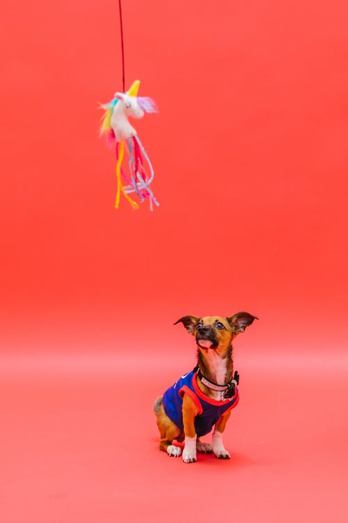 Studio Shot of a Puppy