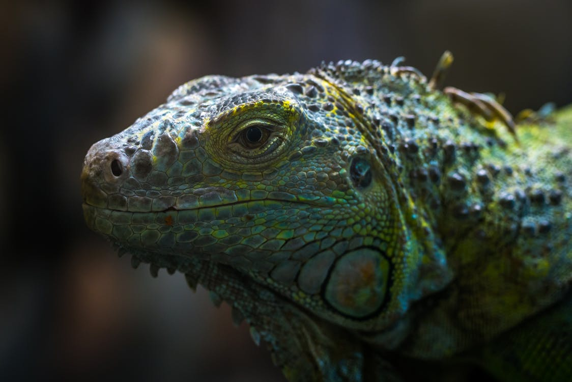 Shallow Focus Photo of Teal, Yellow, and Gray Bearded Dragon