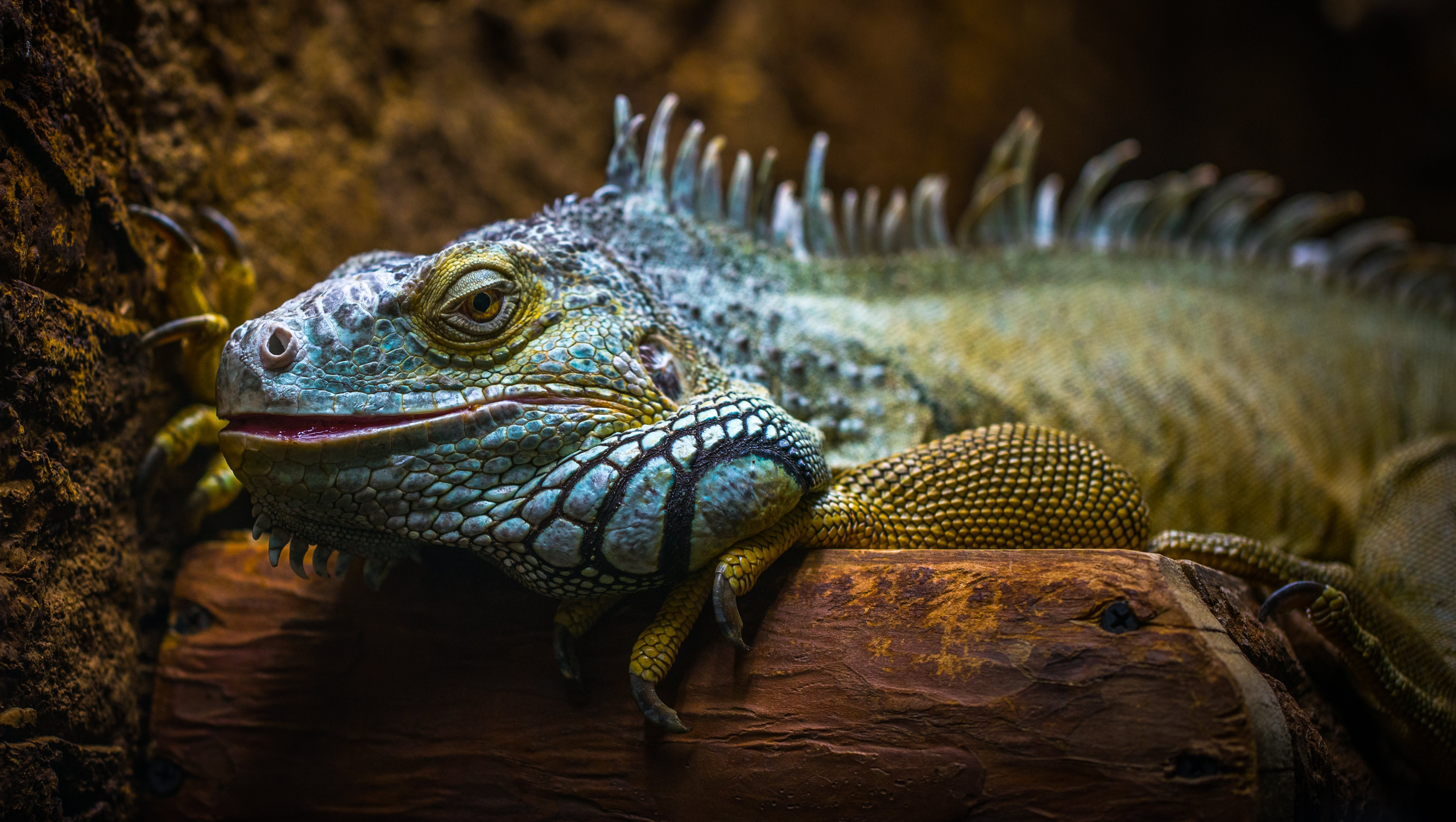 Blue and Brown Iguana