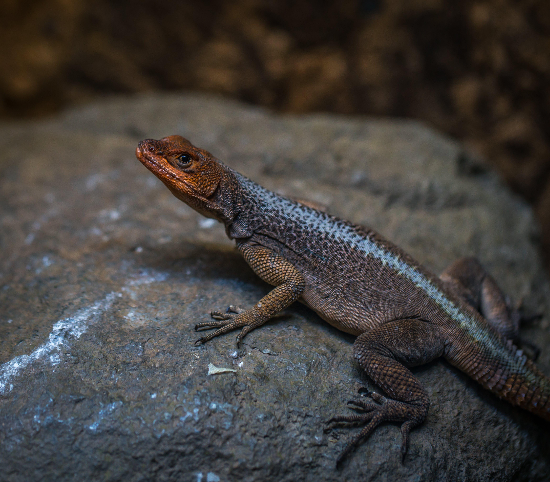 Reptile on Rock