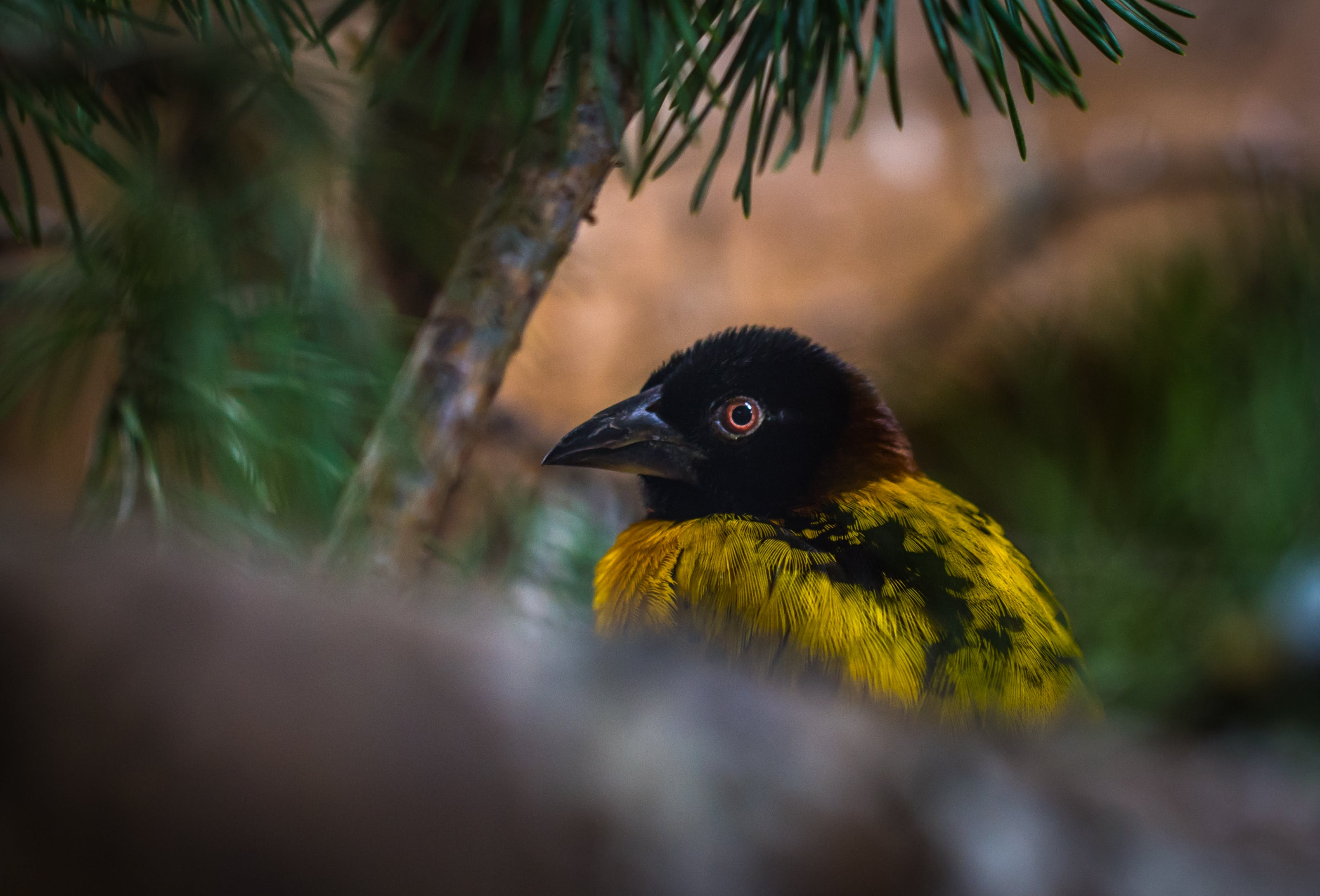Yellow and Black Weaver