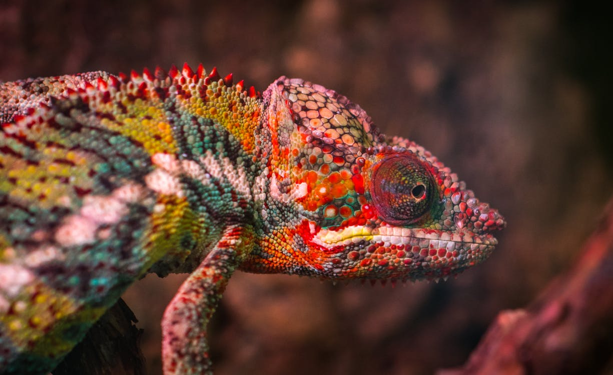 Red, White and Green Chameleon