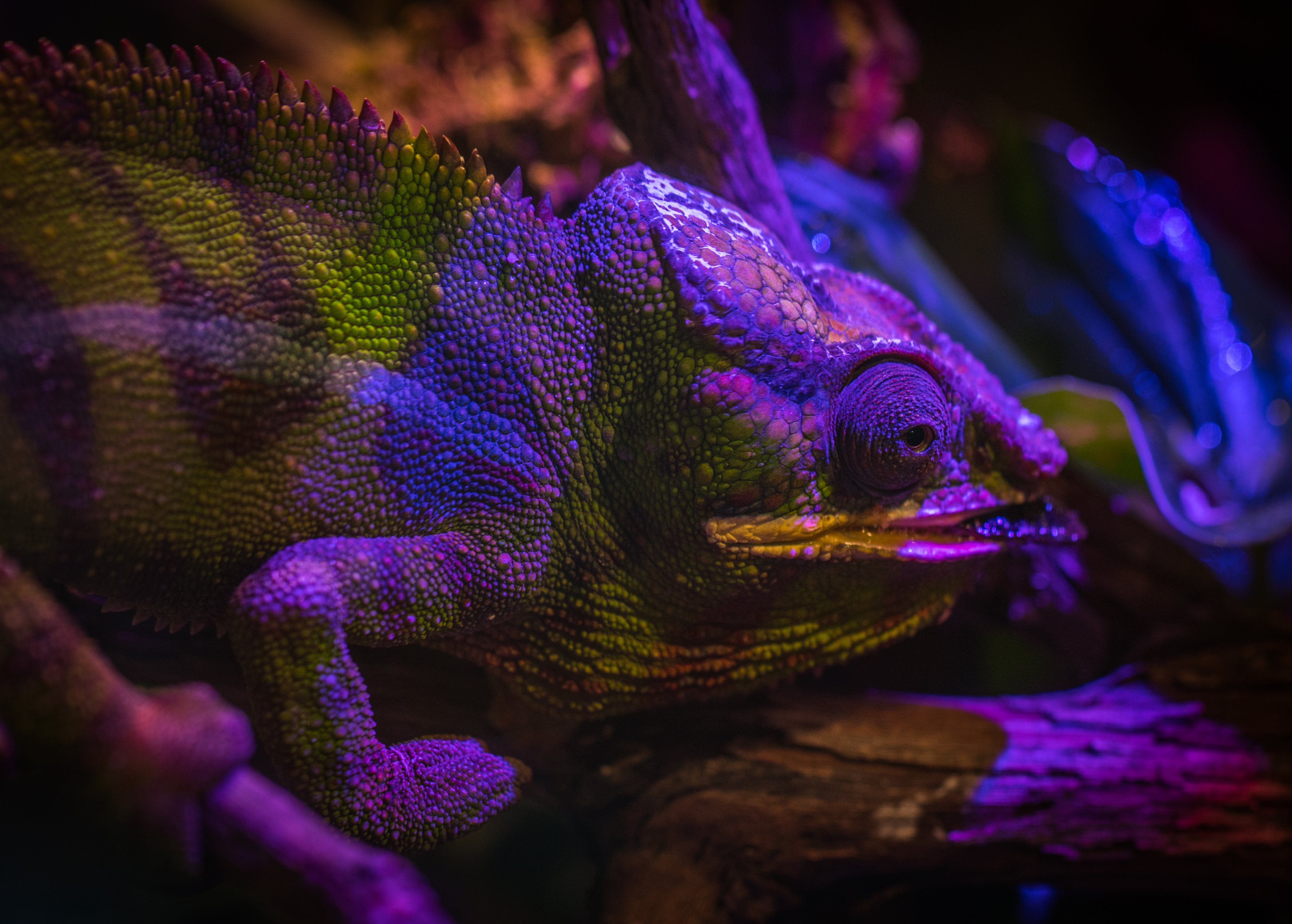 Green and Purple Chameleon