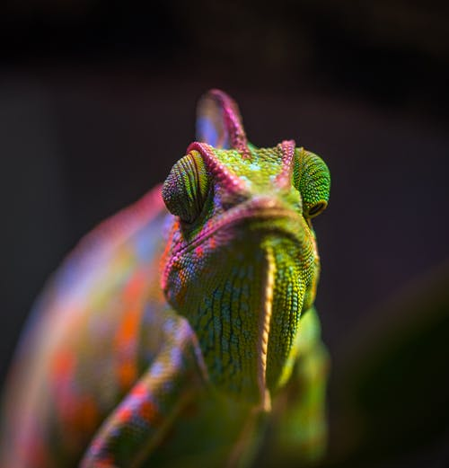 Free stock photo of animals, chameleon