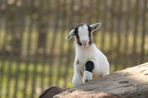 Cute juvenile goat with black spots on white fur climbing on rock in enclosure