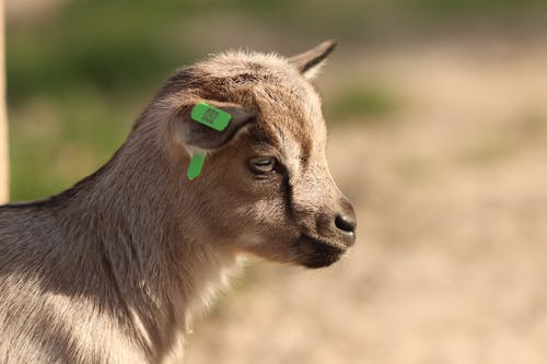 Juvenile goat with tag on ear