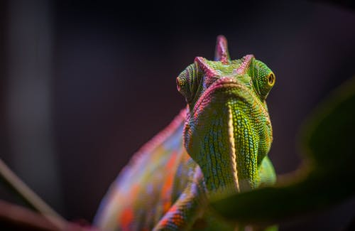 Chameleon in Tilt Shift Lens Photography