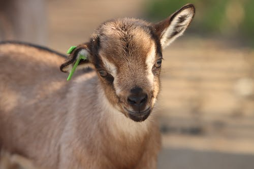 Adorable beige goat juvenile with tag on ear looking at camera on summer day on ranch