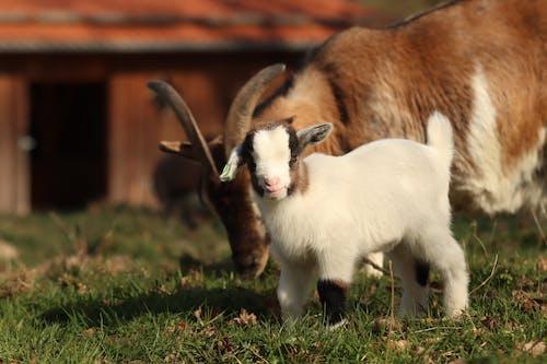 Baby near goat on pasture