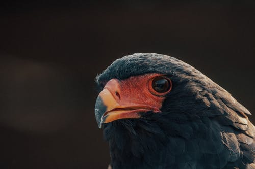 Wild eagle with black feathers on blurred background of nature in forest in summer