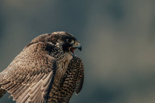 Wild falcon with opened beak and brown plumage