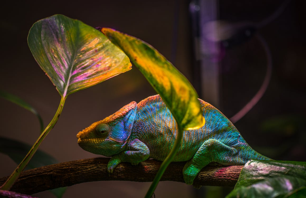 Macro Shot Photography of Chameleon