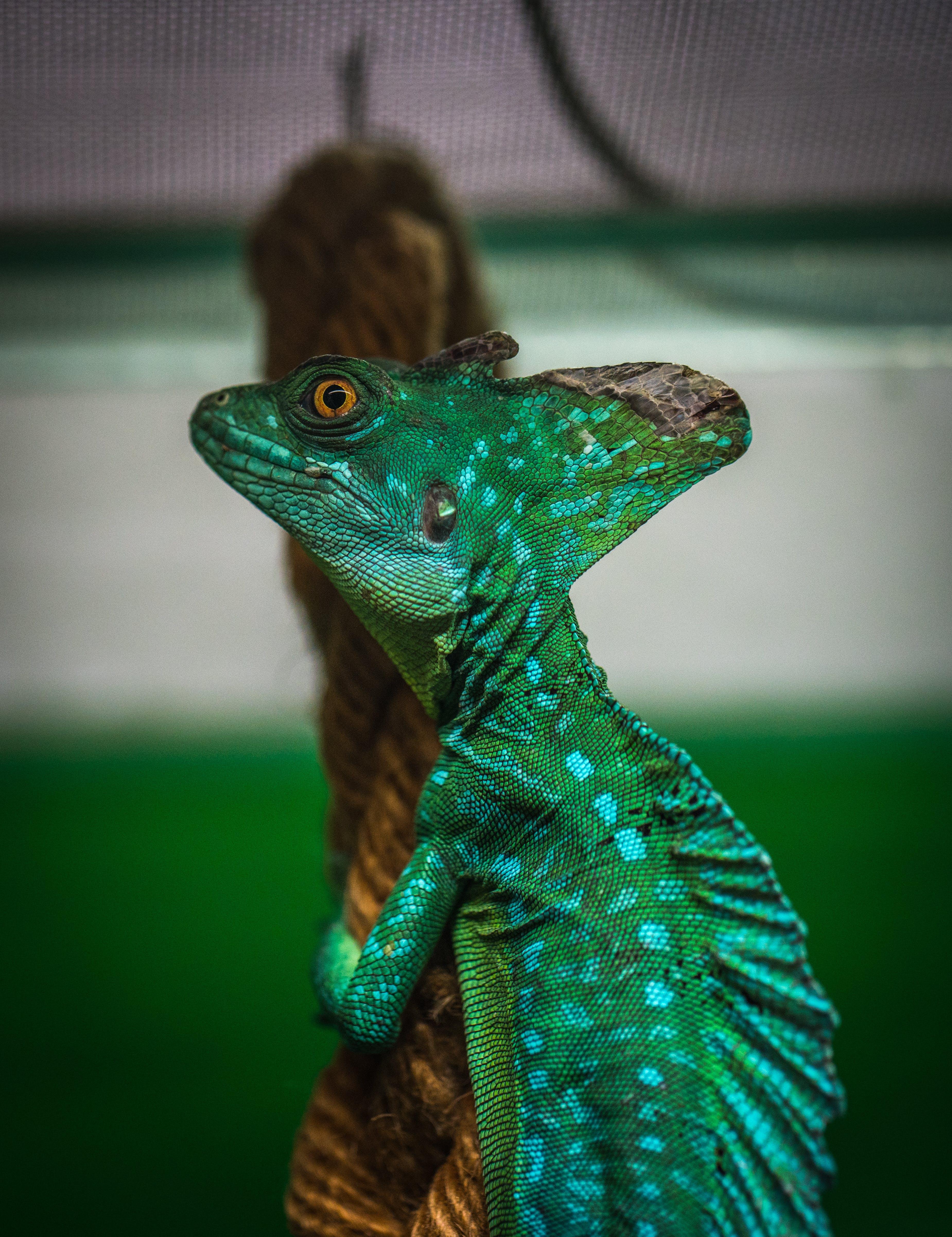 Green Chameleon on Brown Wood Slab