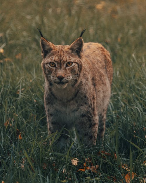 Curious wild lynx in meadow with fresh grass