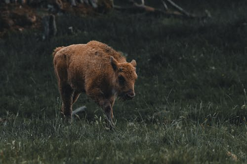 Brown wild bull pasturing in meadow