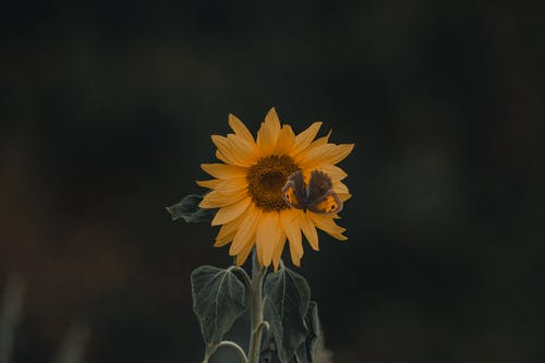 Bright yellow blooming sunflower with butterfly